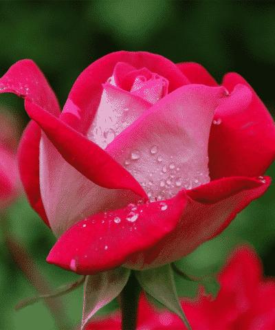 הידרוסול מי ורדים פלוראז